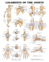 Ligaments of the Joints Chart 20 x26